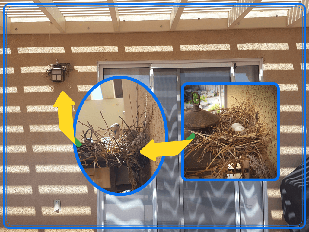 collage of photos of mourning dove in a nest, and mourning dove eggs in a nest